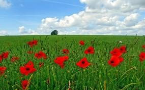 Обои Маковое поле: Зелень, Поле, Небо, Маки, Цветы