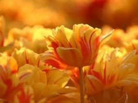 Обои Тюльпаны: Тюльпаны, Желтый, Бутон, Цветы