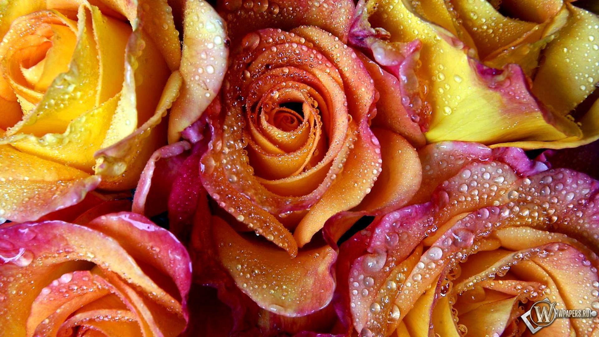Розы в росе 1920x1080
