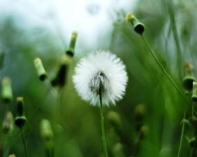 Обои Одуванчик: Зелень, Растение, Белый, Одуванчик, Цветы