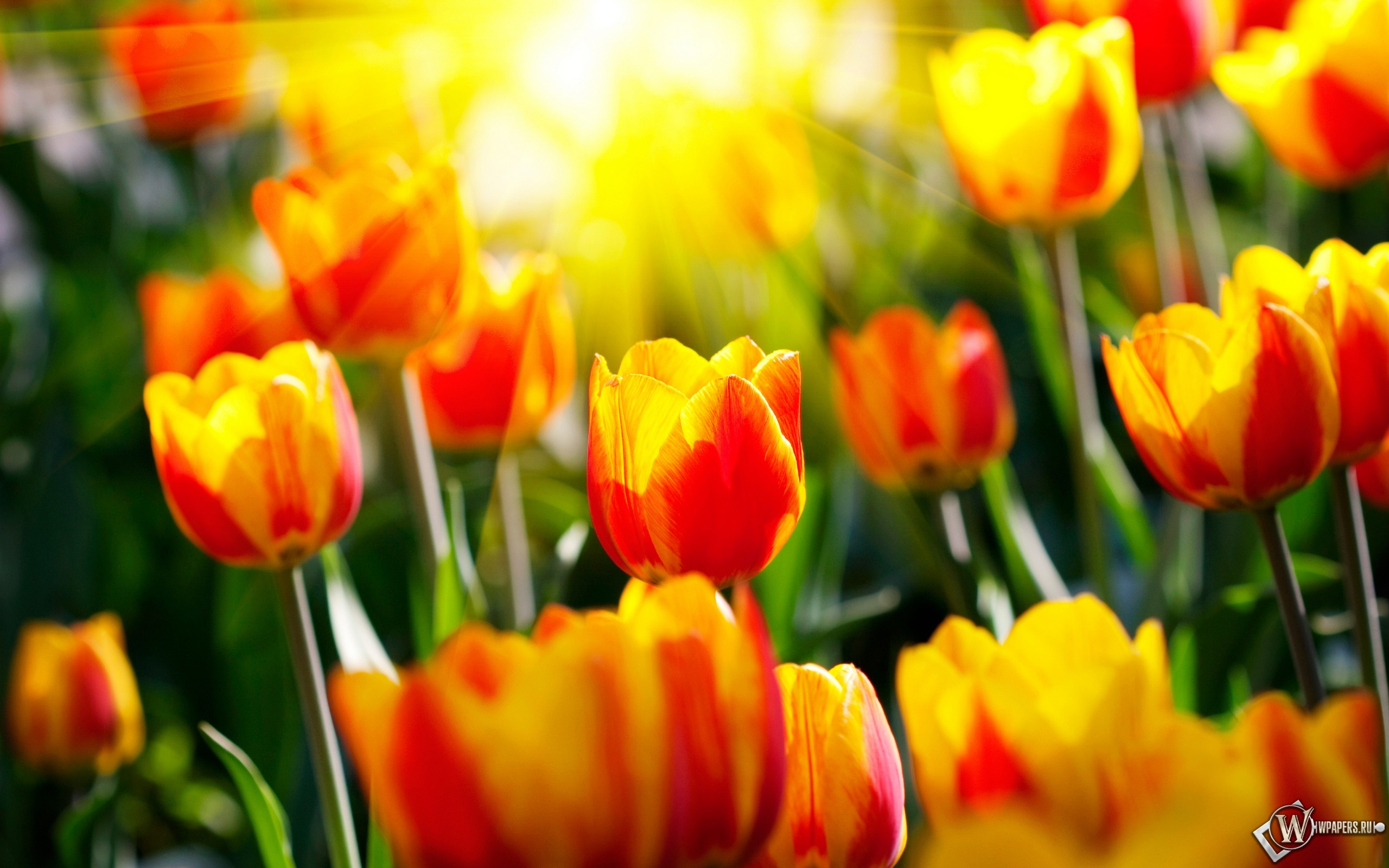Весенние тюльпаны 2560x1600