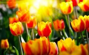 Обои Весенние тюльпаны: Солнце, Цветы, Лучи, Тюльпаны, Весна, Цветы
