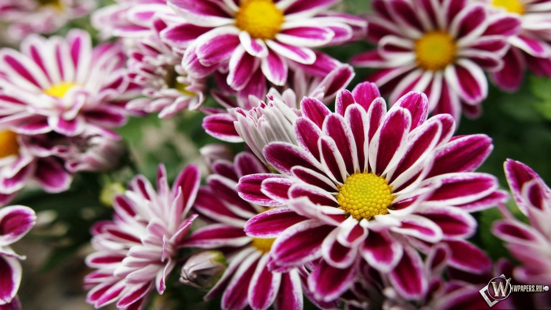 Фиолетовые цветы 1920x1080