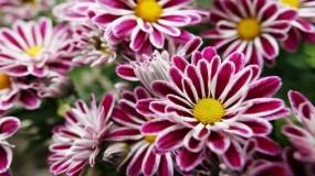 Обои Фиолетовые цветы: Цветы, Фиолетовый, Растения