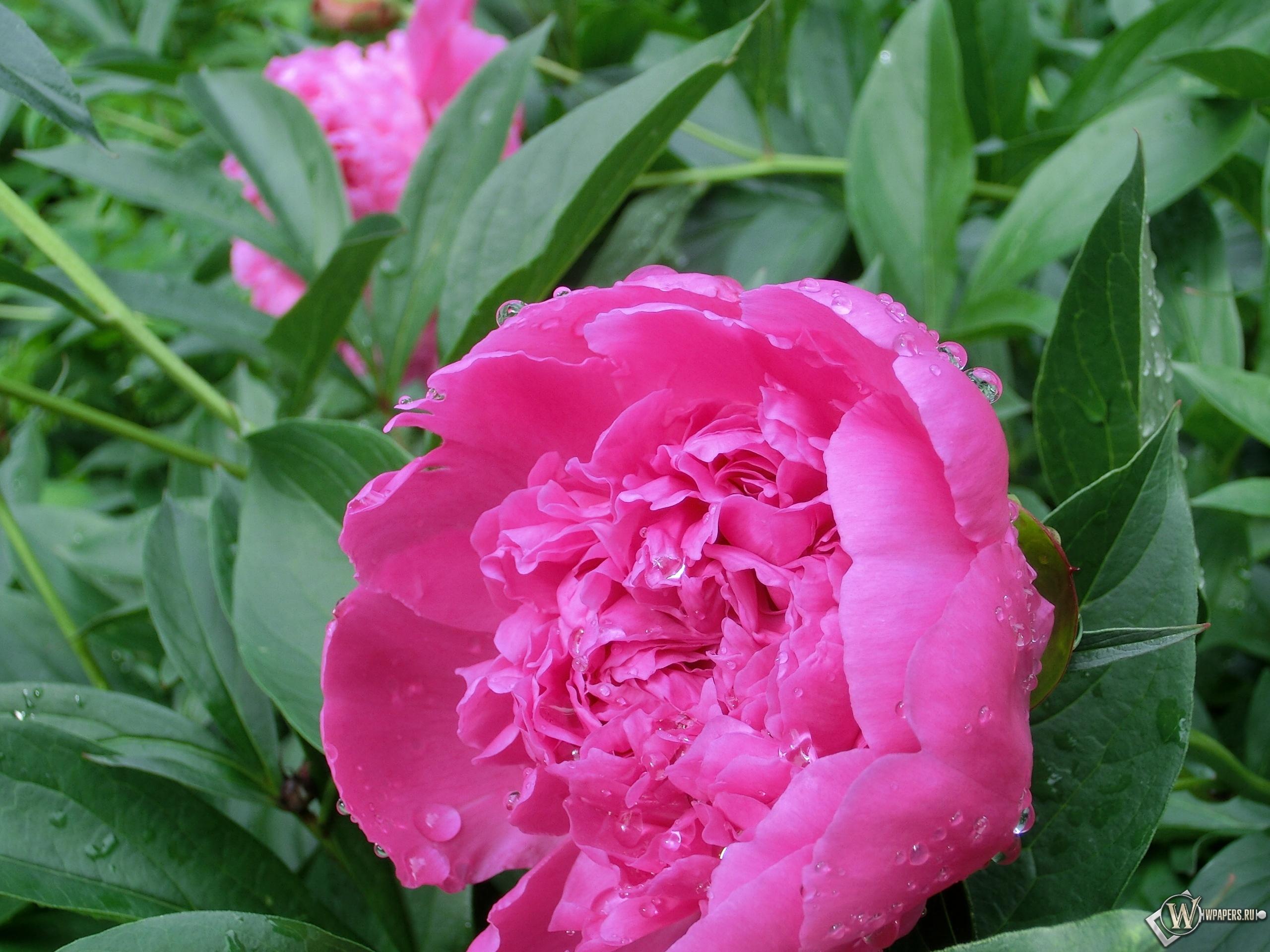Розовый пион 2560x1920