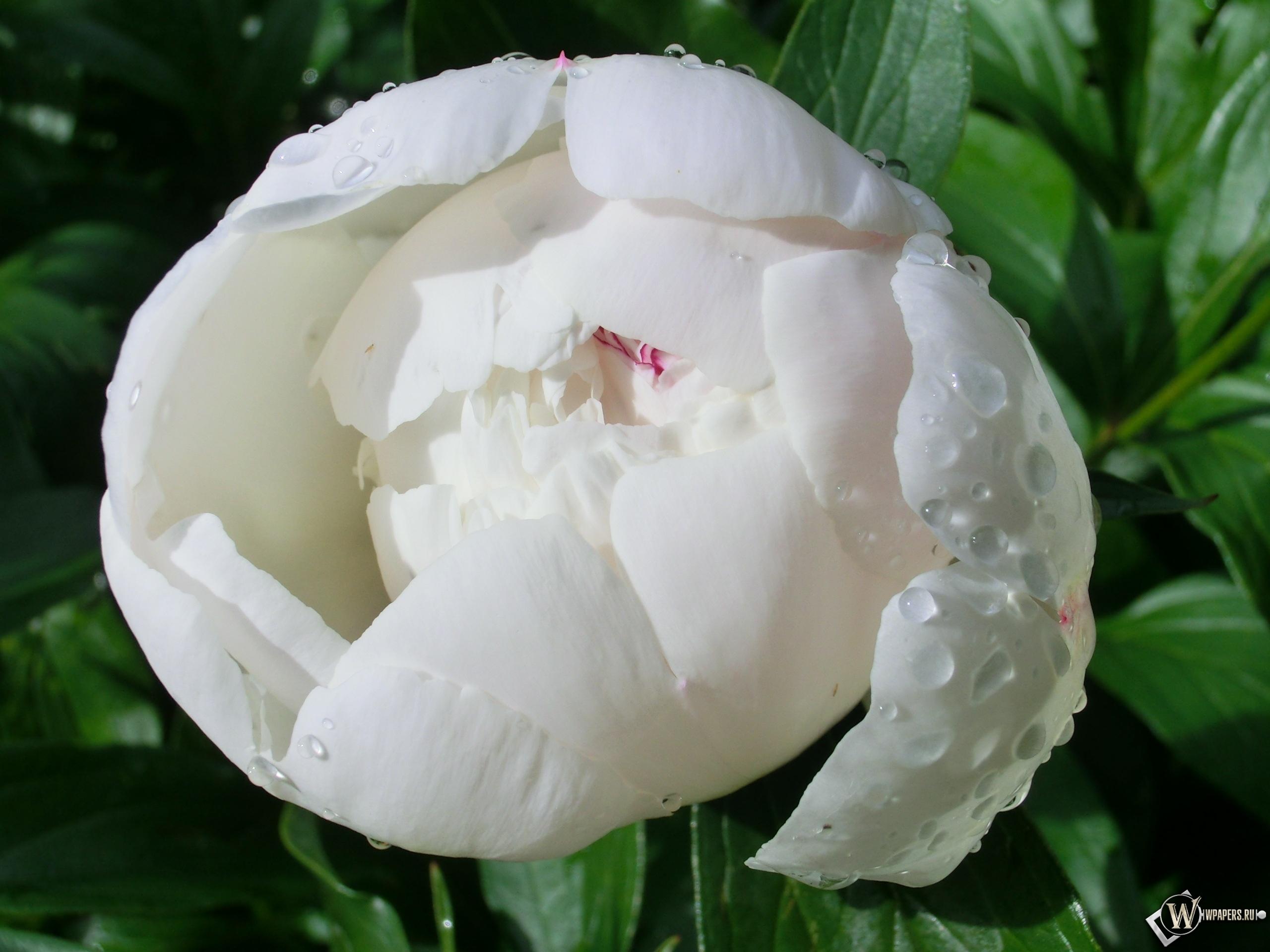 Белый пион 2560x1920