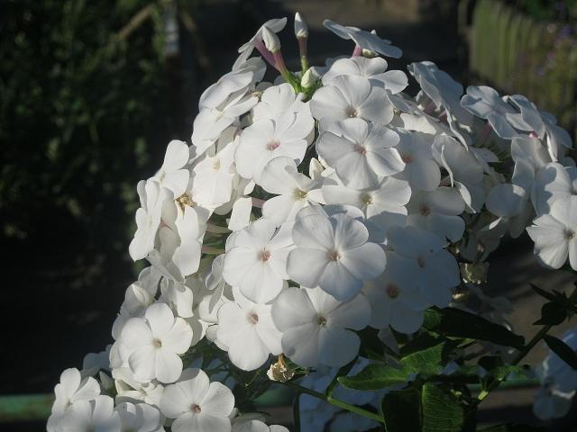 Белый флокс