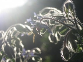 Обои В лучах заката: Закат, Растение, Пчела, Цветы