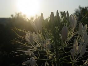 Обои Клеома на закате: Цветок, Закат, Белый, Цветы