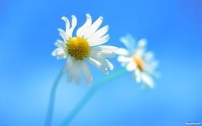 Обои Ромашки: Цветок, Ромашка, Белый, Цветы