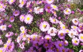 Обои Октябрины на солнце: Солнце, Цветы, Пчела, Цветы