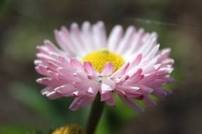 Обои Маргаритка: Цветок, Растение, Цветы