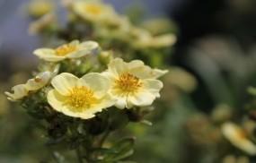 Обои Курильский чай: Растение, Цветы, Цветы