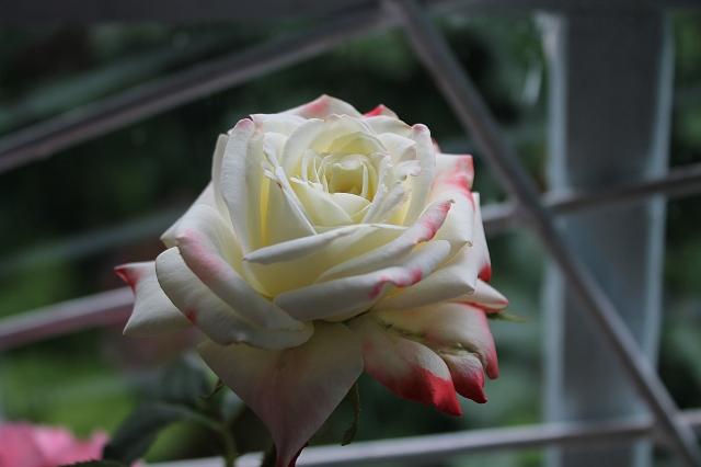 Роза у окна