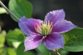 Обои Клематис: Цветок, Растение, Цветы