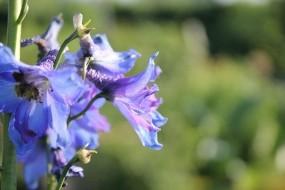 Обои Голубой дельфиниум: Растение, Цветы, Цветы