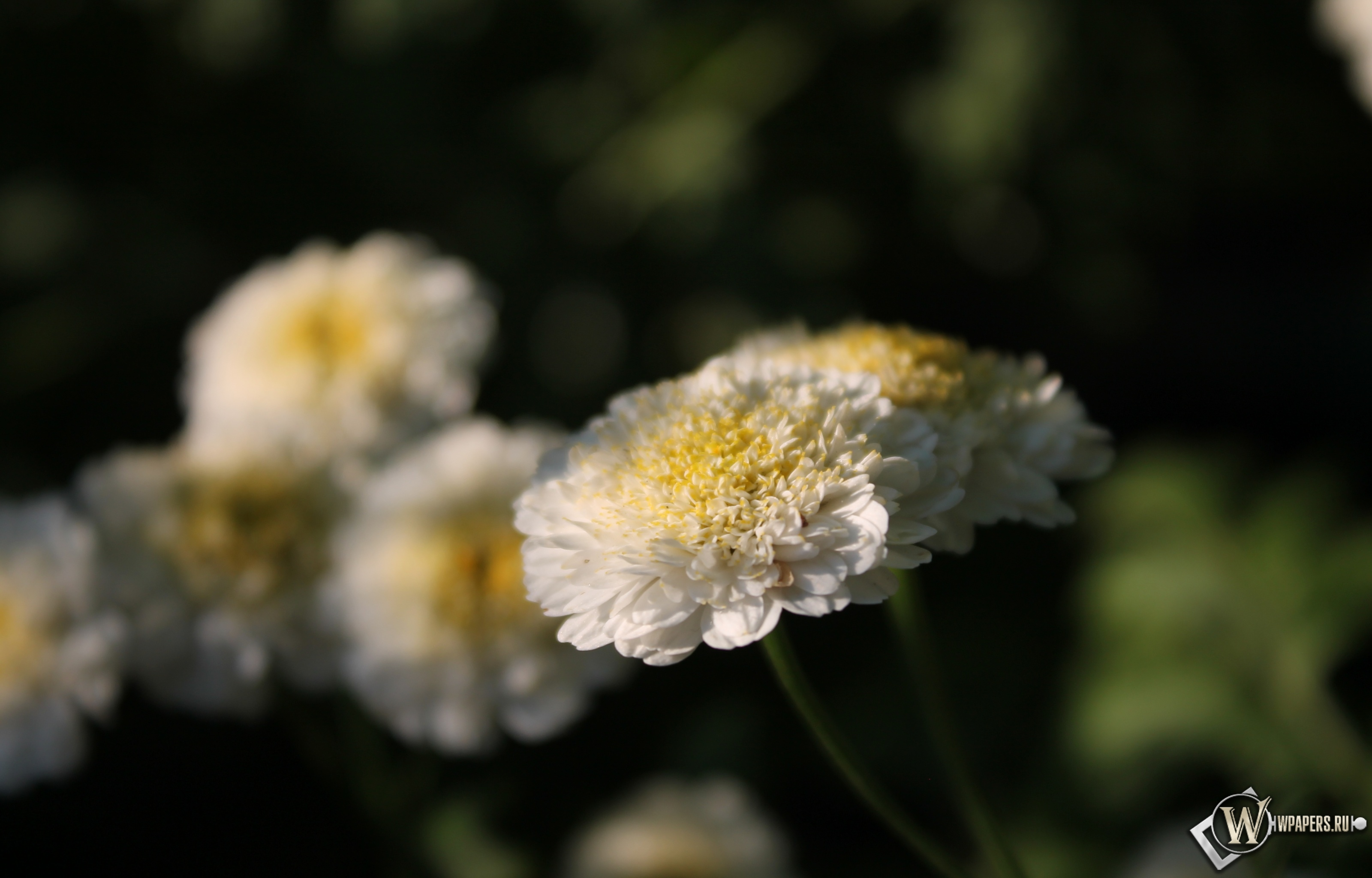 Белые цветы 3200x2048