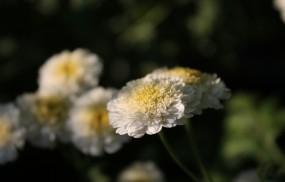 Обои Белые цветы: Растение, Цветы, Цветы