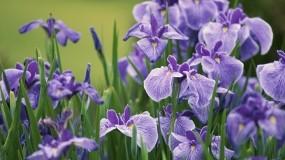 Обои Ирисы: Природа, Цветы, Цветы