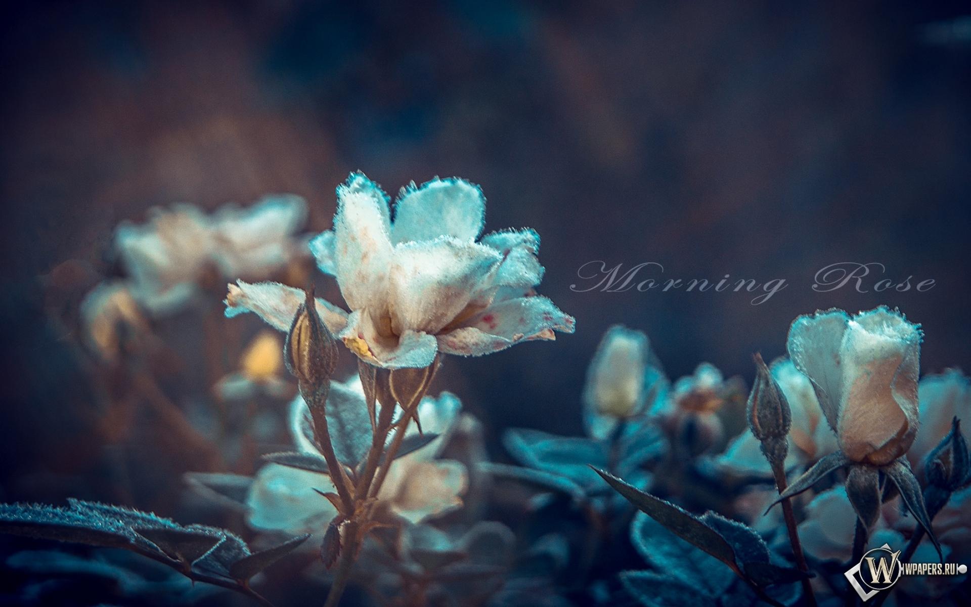 Картинки для рабочего стола цветы розы скачать бесплатно