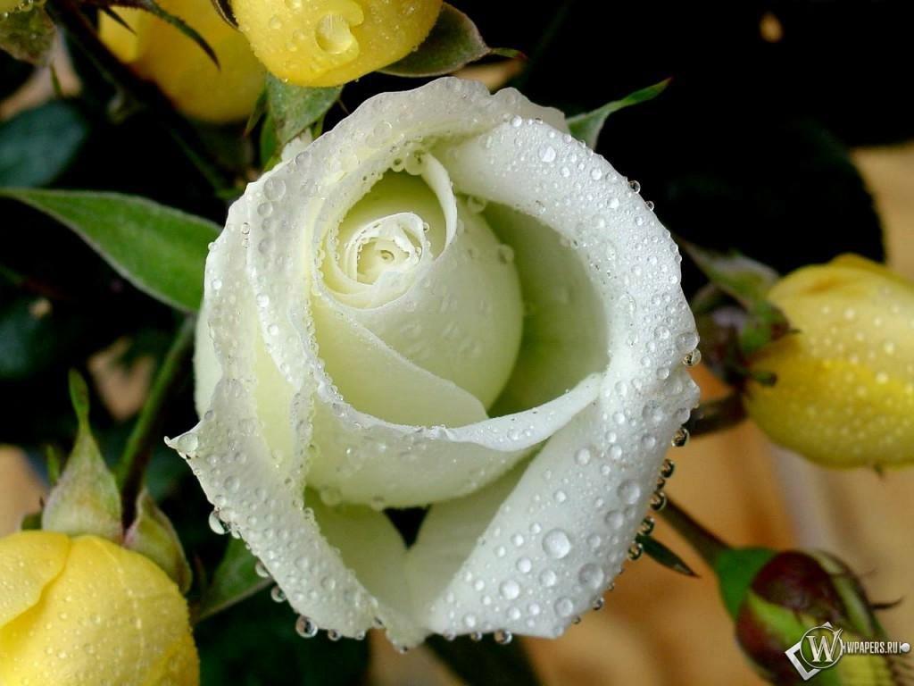 Белая роза 1024x768