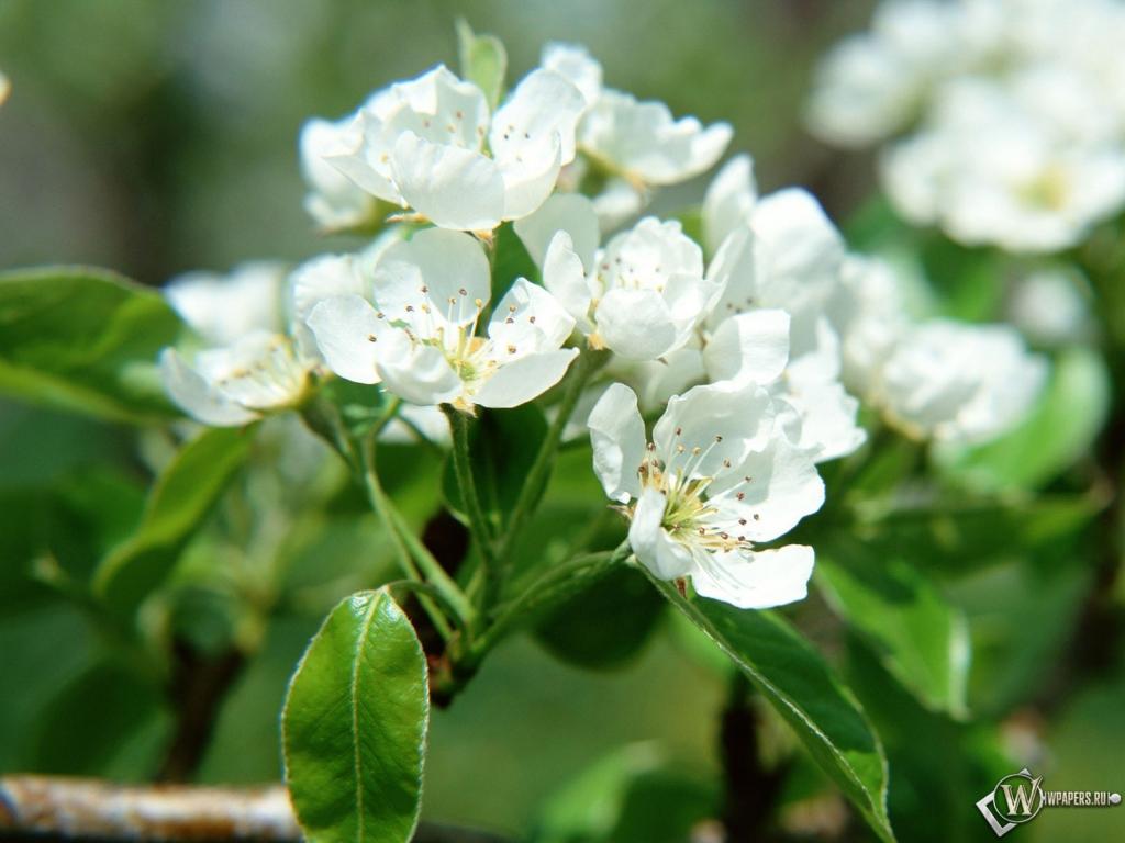 Цветы яблони 1024x768