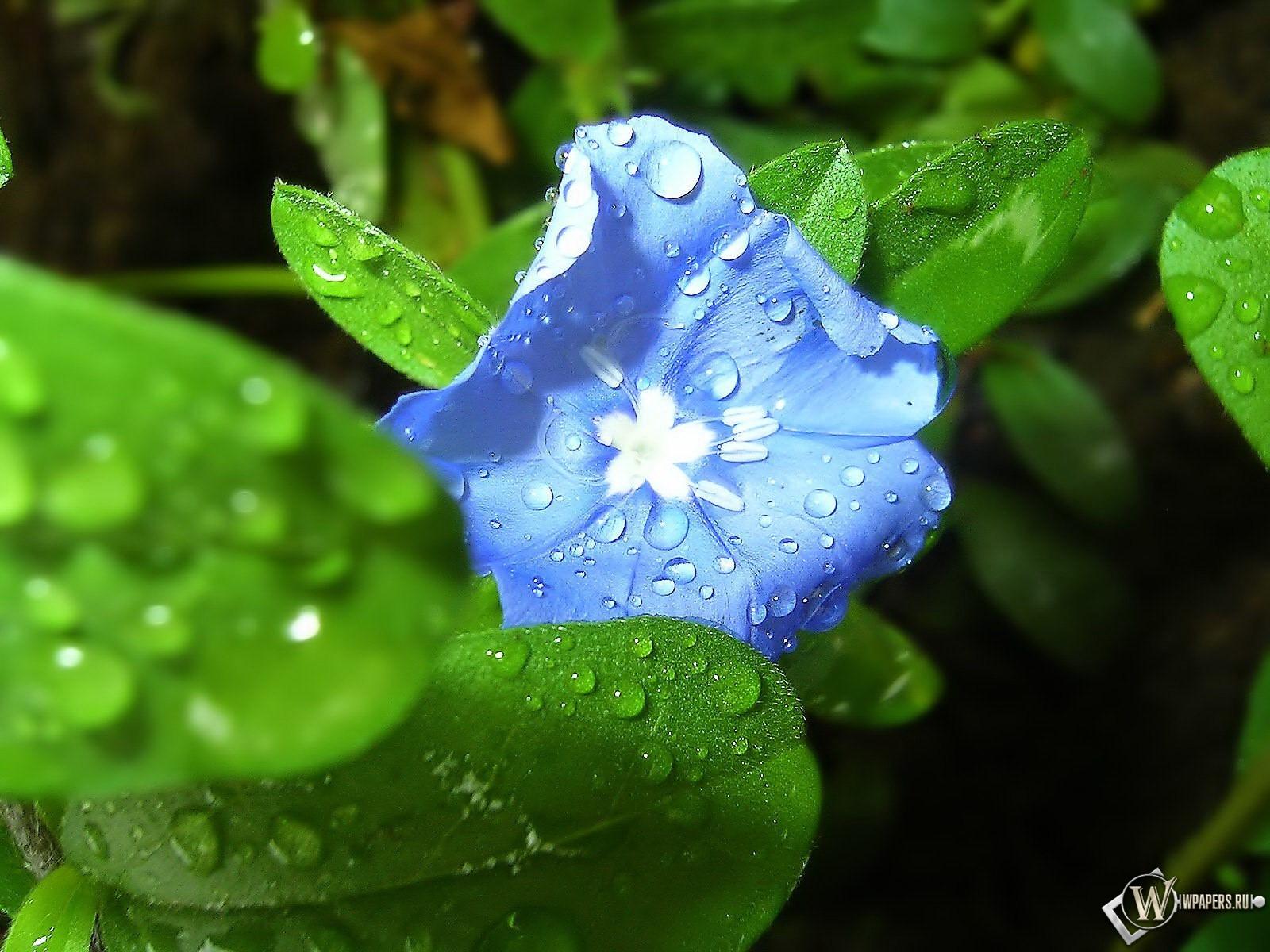 Обои синий цветок цветочек синий
