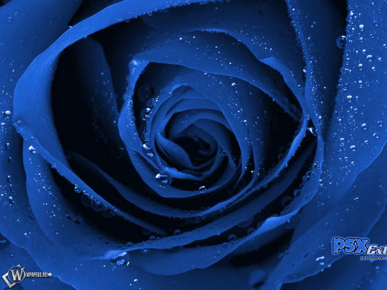 цветок роза картинка: