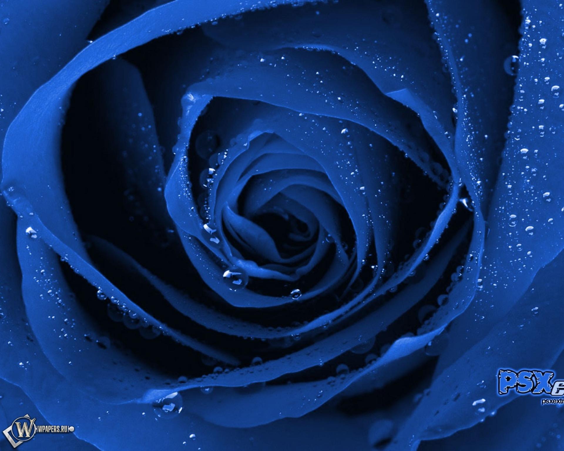 Обои синяя роза роза цветок синий