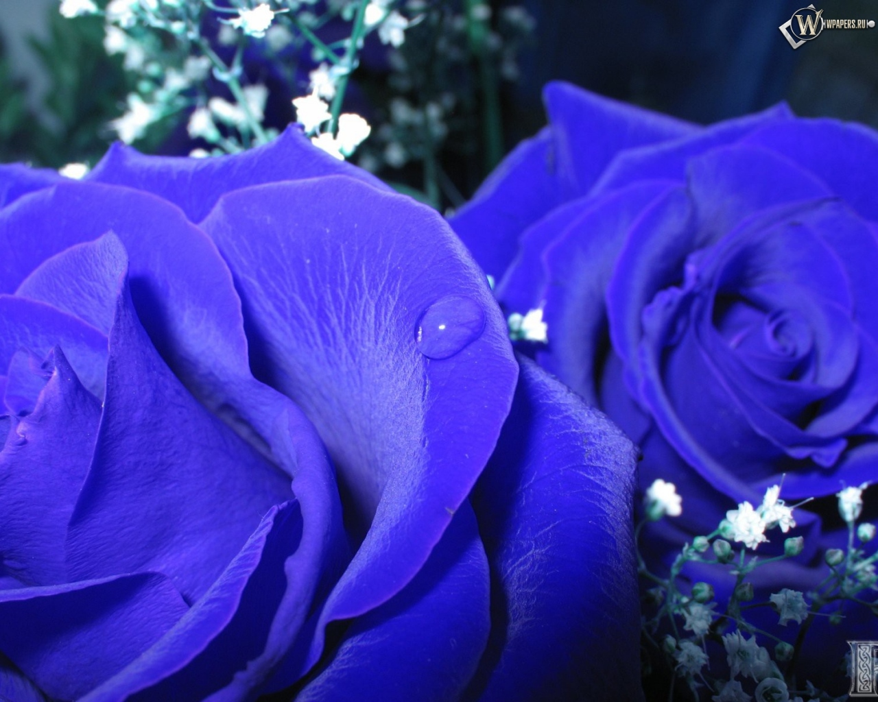 Обои синие розы синий цветы розы