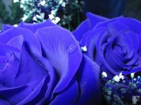 Обои Синие розы: Синий, Цветы, Розы, Цветы