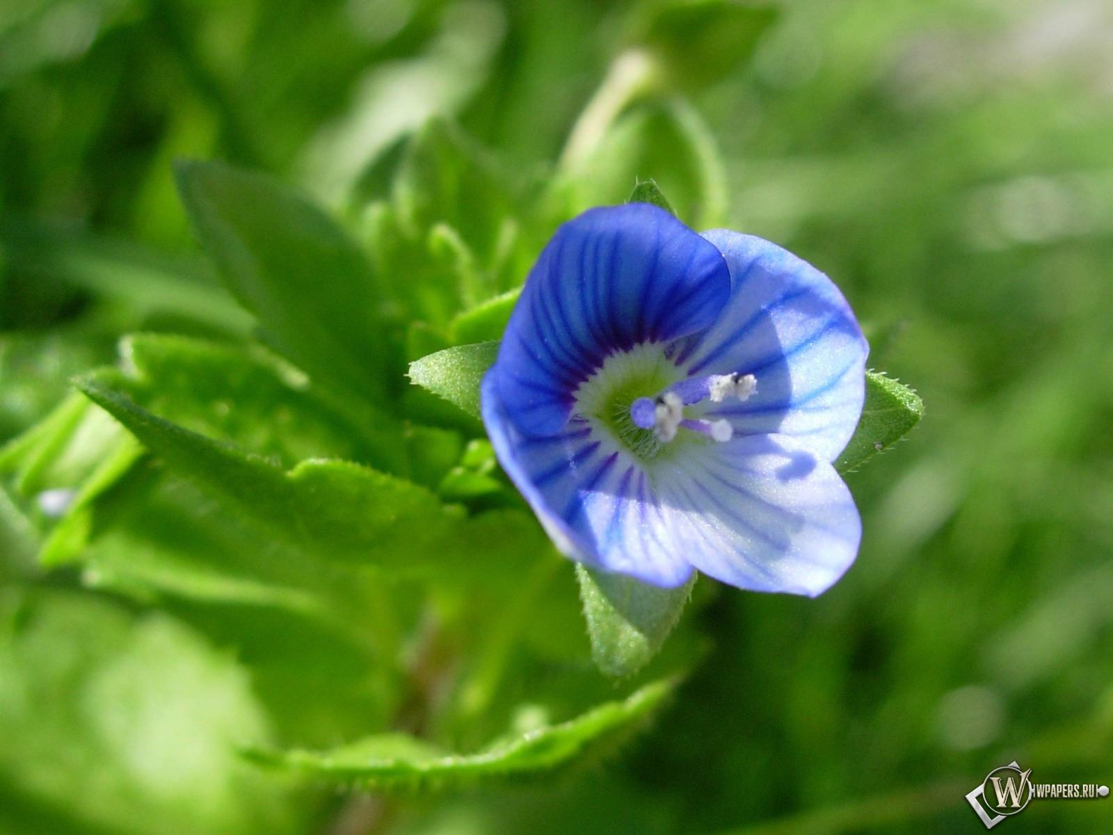Синий цветочек 1600x1200