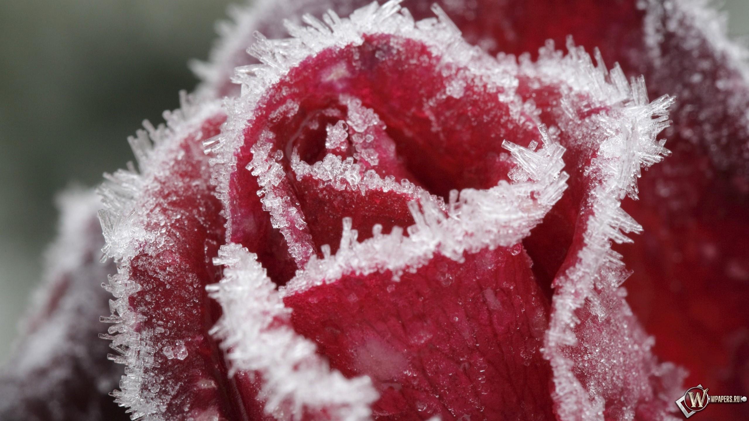 Обои замерзшая роза на рабочий стол с