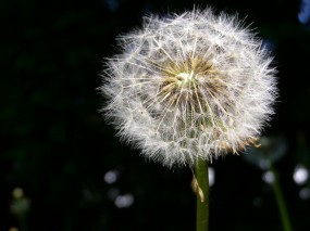 Обои Одуванчик: Одуванчик, Пух, Цветы