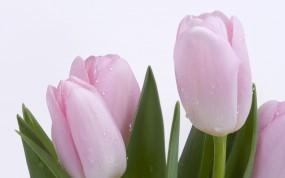 Обои Розовые тюльпаны: Роса, Нежность, Тюльпаны, Цветы