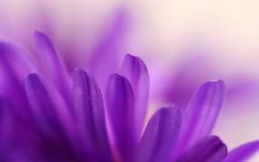 Обои Лепестки: Лепестки, Фиолетовый, Цветы