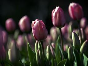 Обои Тюльпаны: Зелень, Цветы, Тюльпаны, Цветы