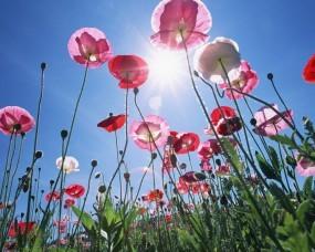 Обои Маки: Солнце, Макро, Маки, Цветы