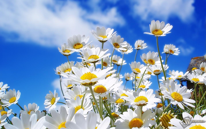 Небо цветы ромашки 1440x900 картинки