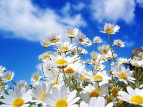 Обои Ромашки: Облака, Небо, Цветы, Ромашки, Цветы