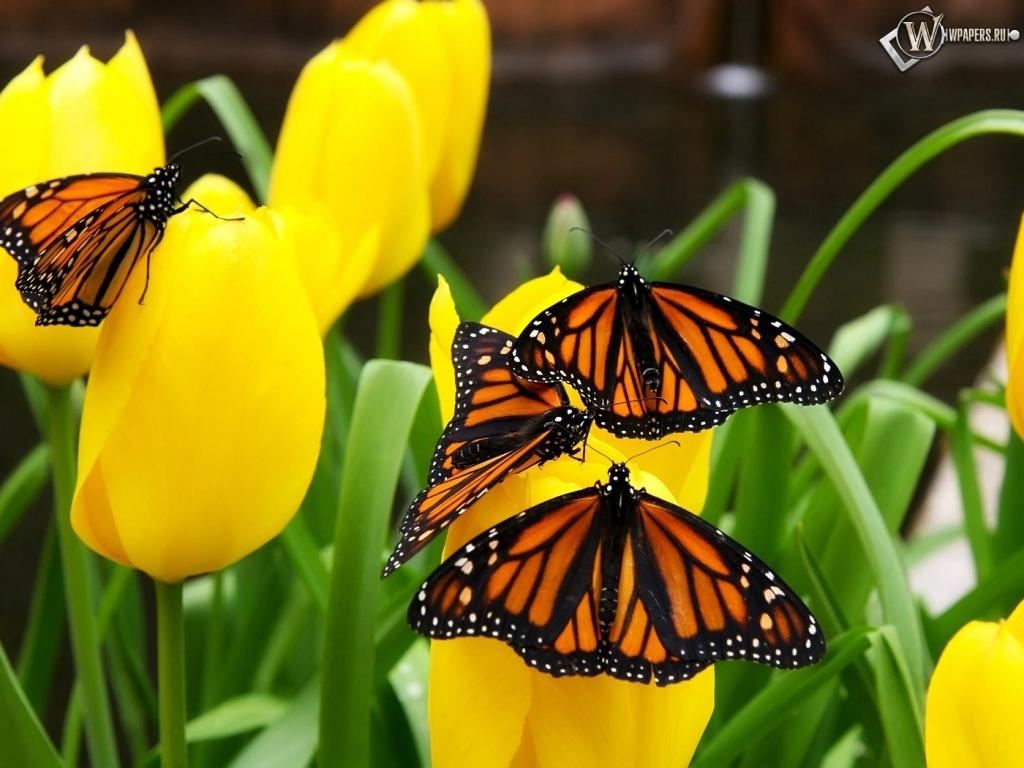 Бабочки на тюльпанах 1024x768