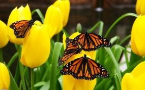 Обои Бабочки на тюльпанах: Цветы, Бабочки, Тюльпаны, Цветы