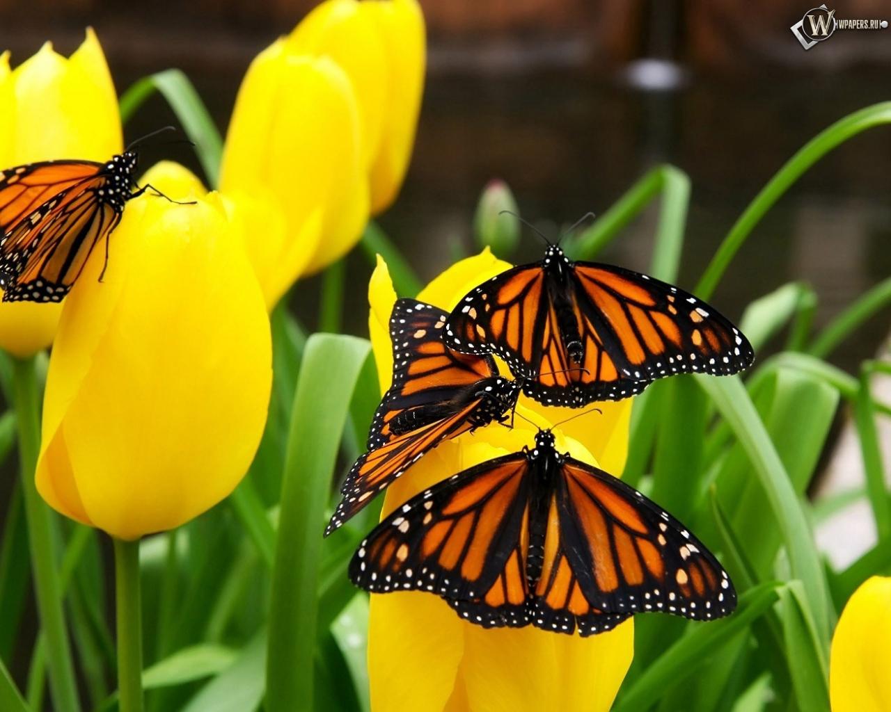 Бабочки на тюльпанах