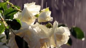 Обои Цветки яблони: Дождь, Весна, Цветки, Яблоня, Цветы