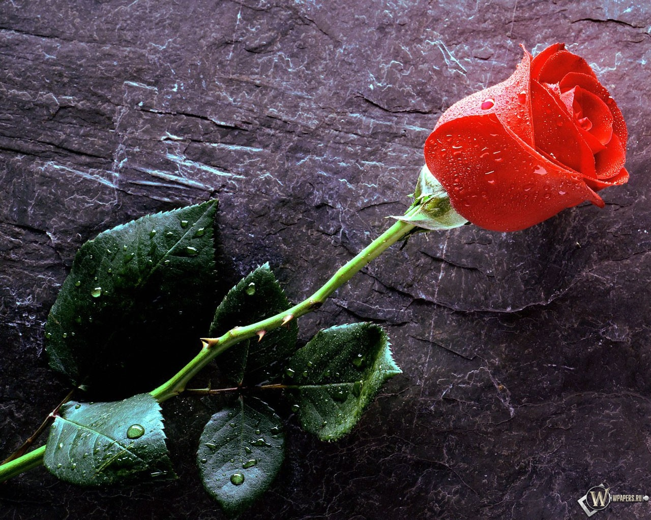 Красная роза 1280x1024