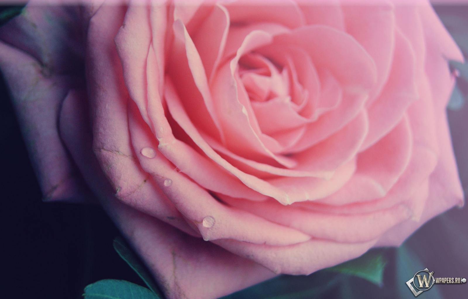 Роза 1600x1024