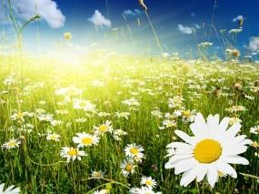 Обои Ромашковое поле: Поле, Цветы, Ромашки, Цветы