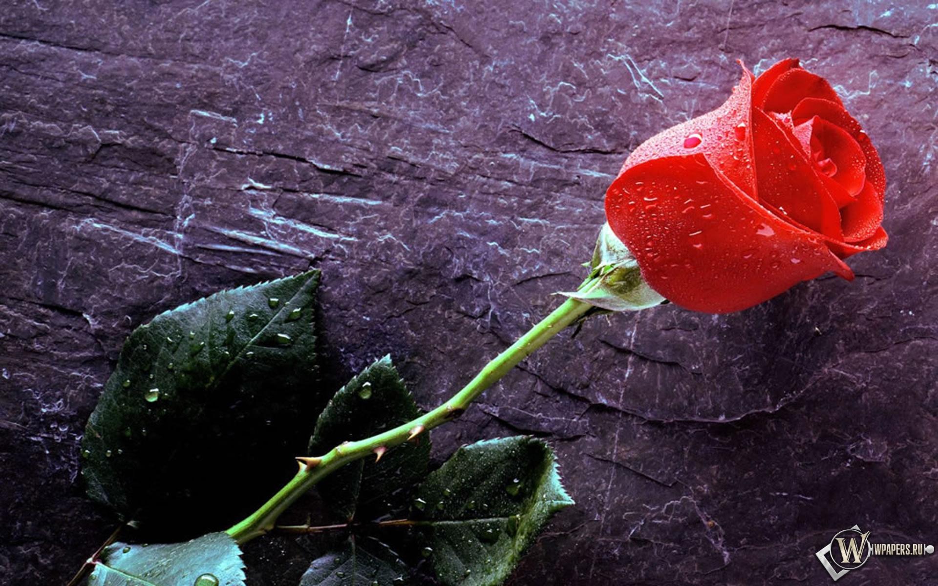 Роза 1920x1200