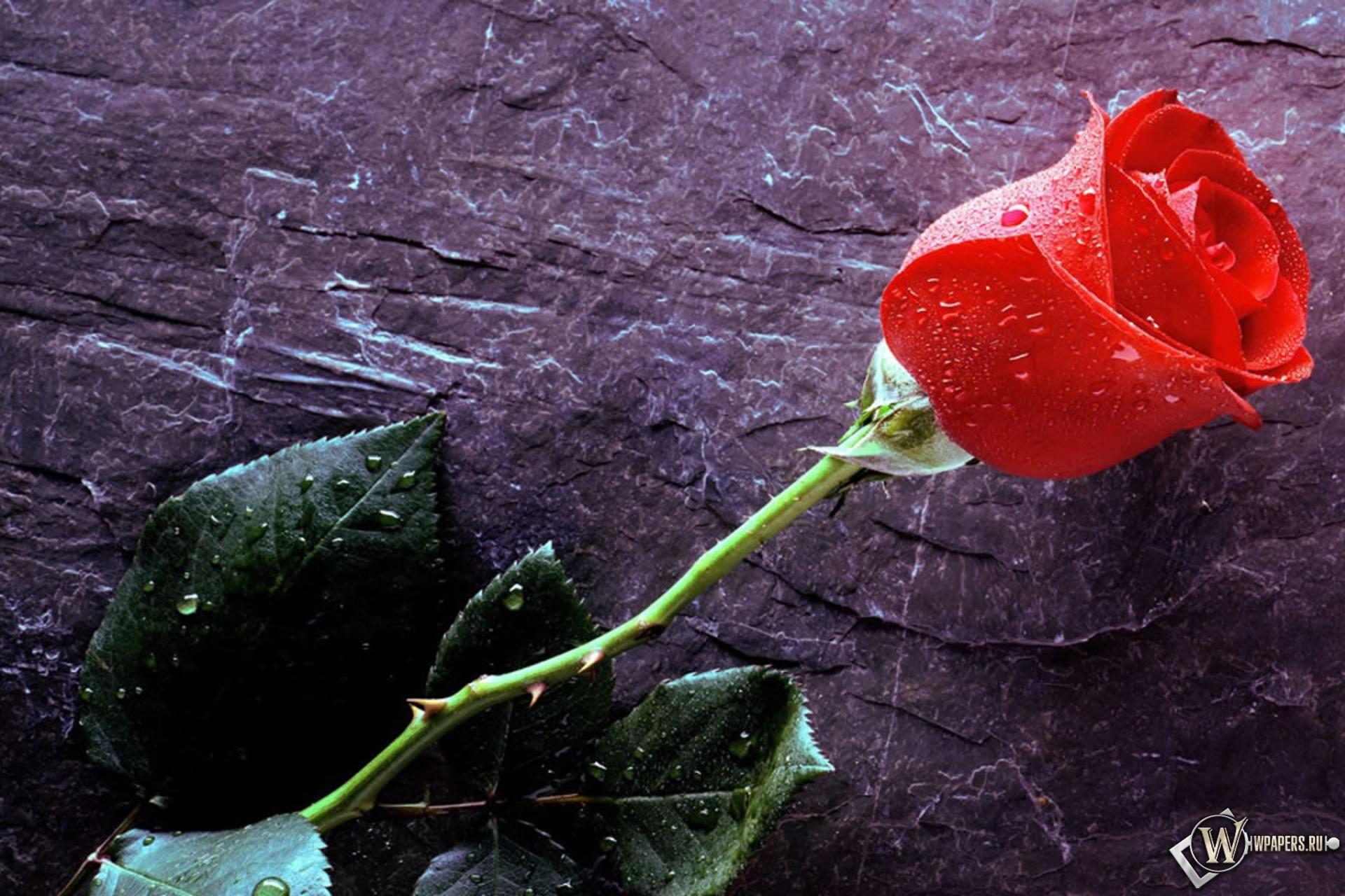 Обои роза вода роза капельки капли