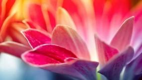 Обои Красные и розовые лепестки: Цвета, Цветок, Лепестки, Цветы